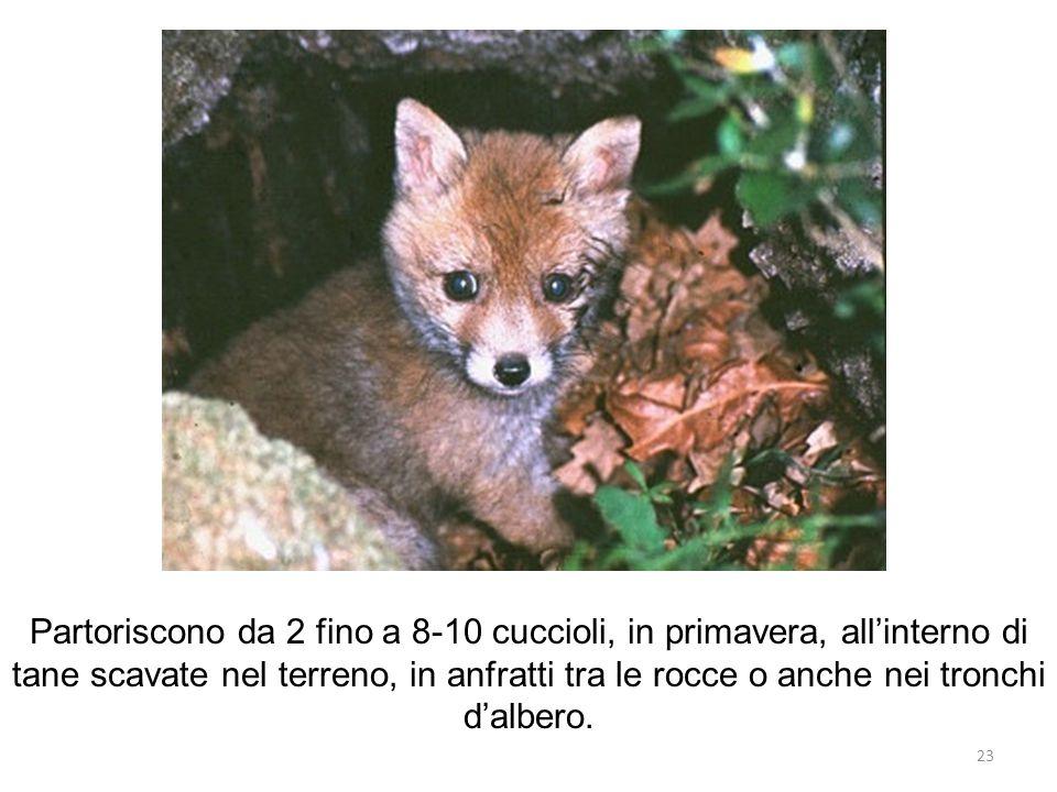 Partoriscono da 2 fino a 8-10 cuccioli, in primavera, all'interno di tane scavate nel terreno, in anfratti tra le rocce o anche nei tronchi d'albero.