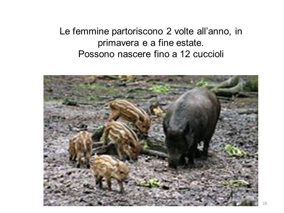 Possono nascere fino a 12 cuccioli