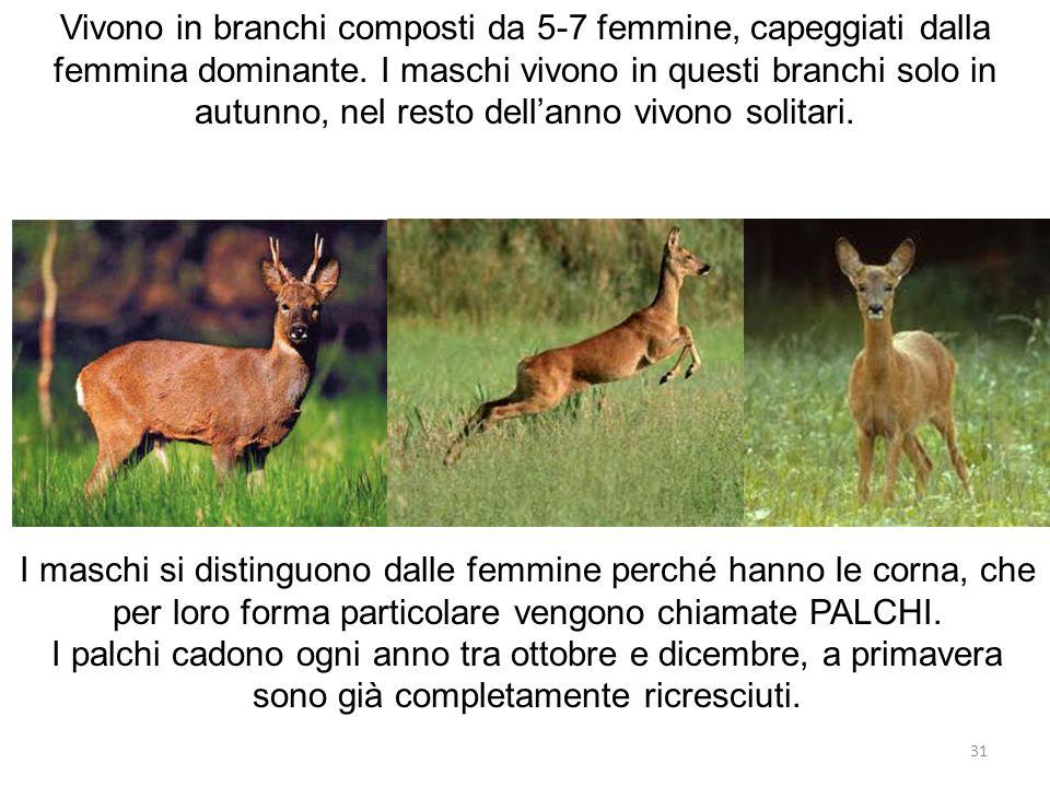 Vivono in branchi composti da 5-7 femmine, capeggiati dalla femmina dominante. I maschi vivono in questi branchi solo in autunno, nel resto dell'anno vivono solitari.