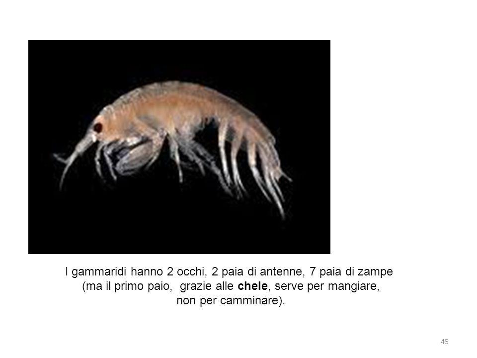 I gammaridi hanno 2 occhi, 2 paia di antenne, 7 paia di zampe