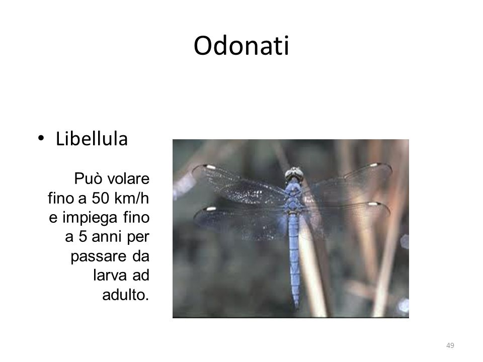 Odonati Libellula Può volare fino a 50 km/h e impiega fino a 5 anni per passare da larva ad adulto.