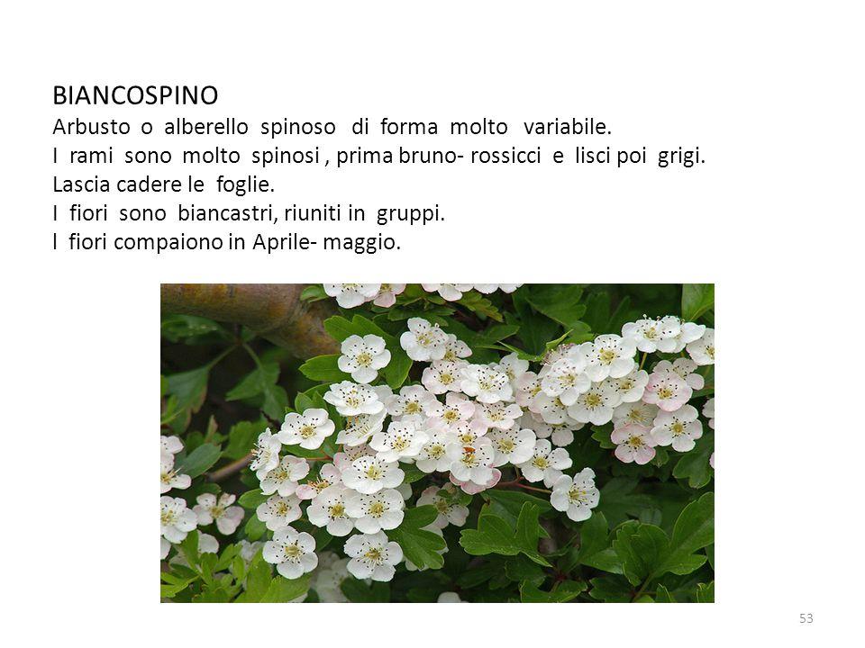 BIANCOSPINO Arbusto o alberello spinoso di forma molto variabile