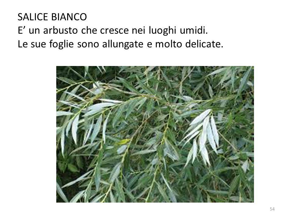 SALICE BIANCO E' un arbusto che cresce nei luoghi umidi