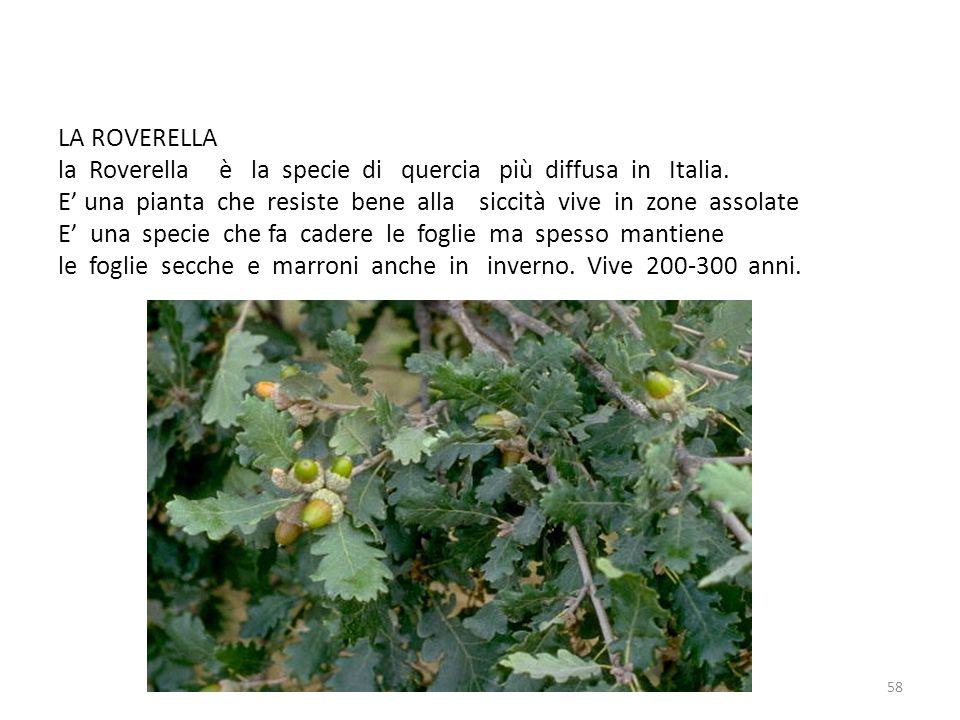 LA ROVERELLA la Roverella è la specie di quercia più diffusa in Italia