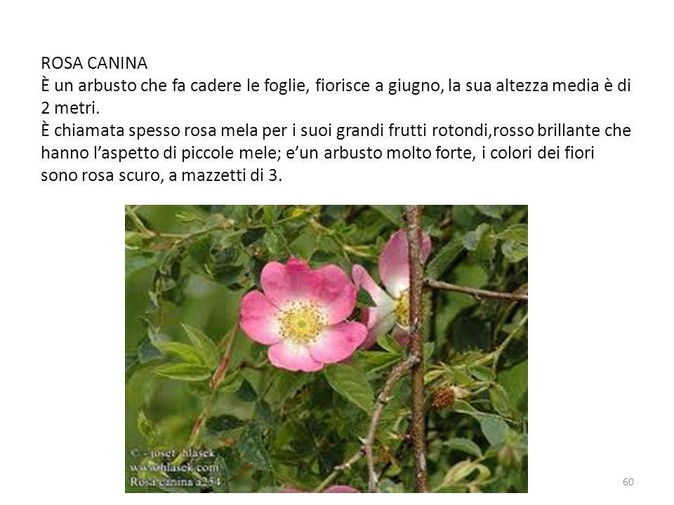 ROSA CANINA È un arbusto che fa cadere le foglie, fiorisce a giugno, la sua altezza media è di 2 metri.