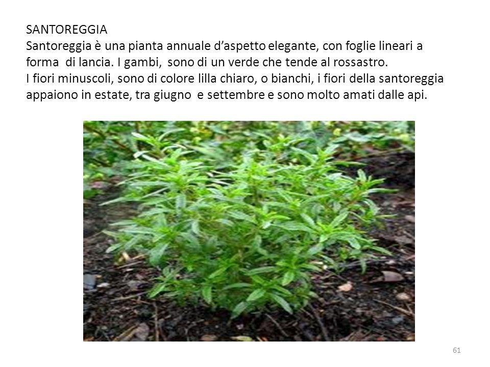 SANTOREGGIA Santoreggia è una pianta annuale d'aspetto elegante, con foglie lineari a forma di lancia.