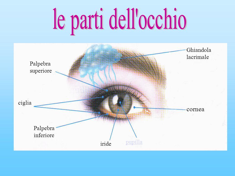 cornea Ghiandola lacrimale Palpebra superiore ciglia
