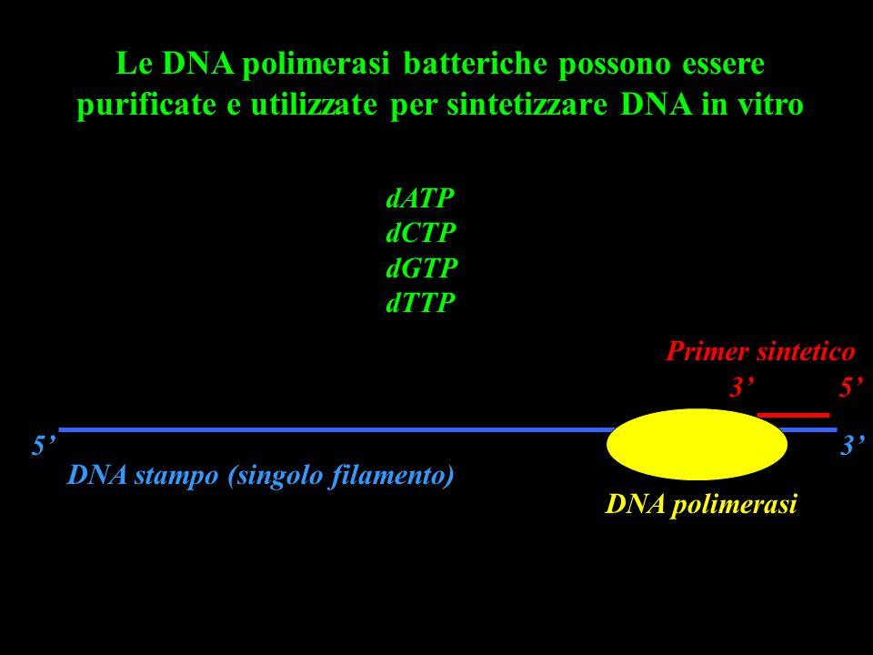 Le DNA polimerasi batteriche possono essere purificate e utilizzate per sintetizzare DNA in vitro