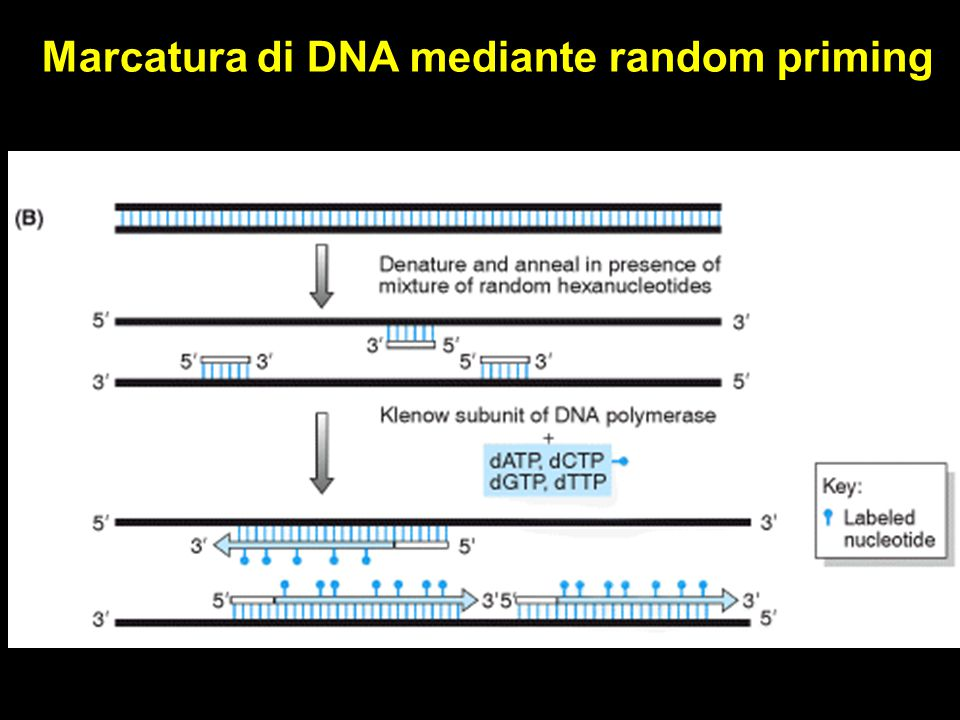 Marcatura di DNA mediante random priming
