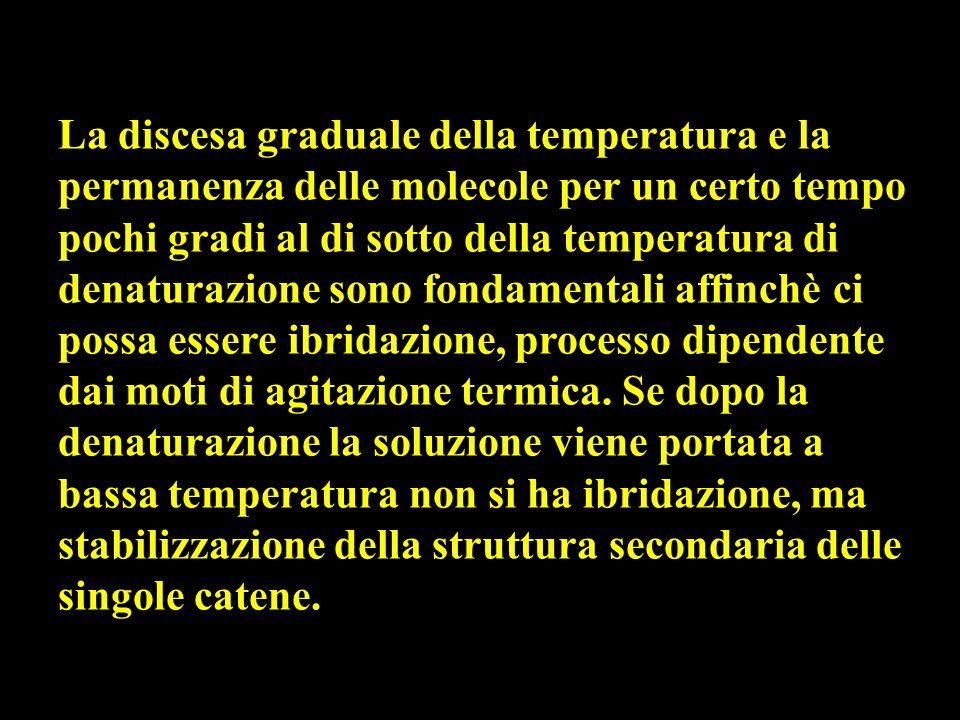 La discesa graduale della temperatura e la permanenza delle molecole per un certo tempo pochi gradi al di sotto della temperatura di denaturazione sono fondamentali affinchè ci possa essere ibridazione, processo dipendente dai moti di agitazione termica.