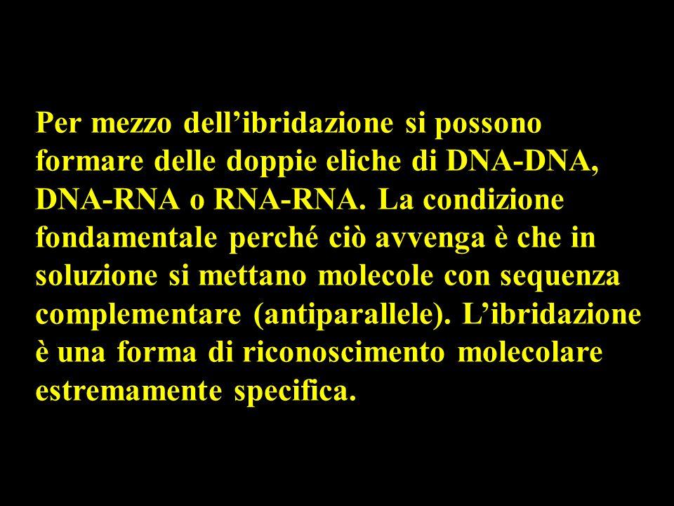 Per mezzo dell'ibridazione si possono formare delle doppie eliche di DNA-DNA, DNA-RNA o RNA-RNA.
