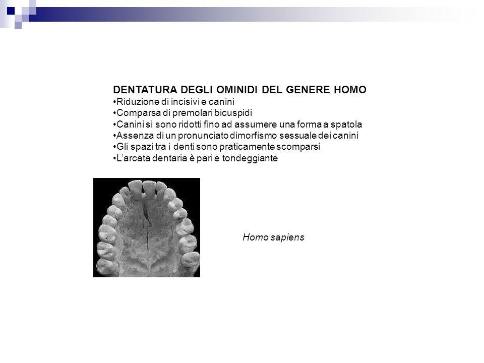 Homo sapiens DENTATURA DEGLI OMINIDI DEL GENERE HOMO