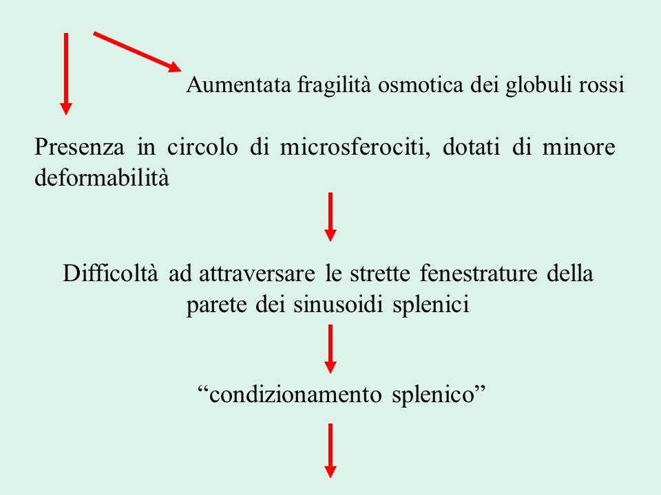 Presenza in circolo di microsferociti, dotati di minore deformabilità
