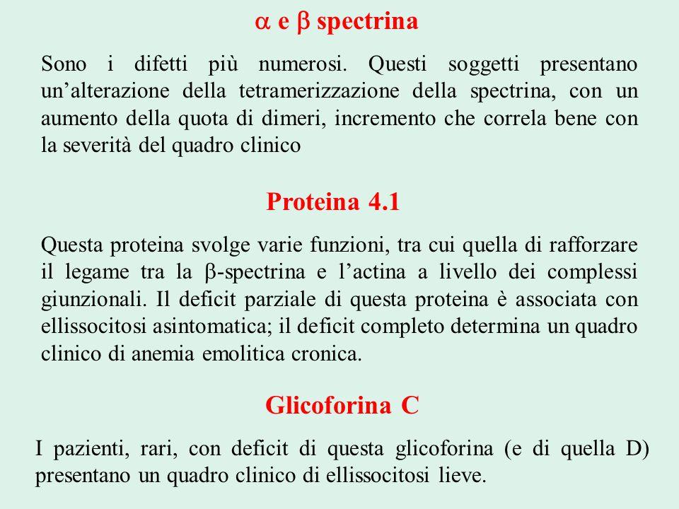a e b spectrina Proteina 4.1 Glicoforina C