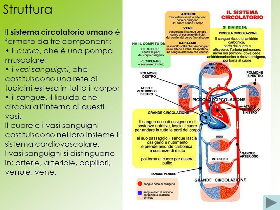 Struttura Il sistema circolatorio umano è formato da tre componenti: