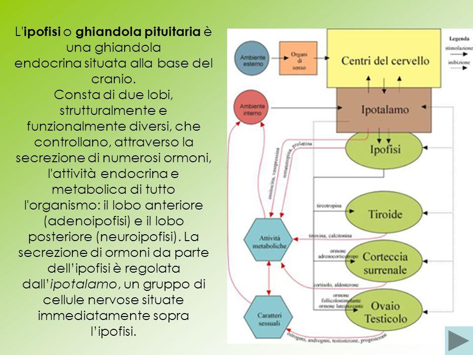 L ipofisi o ghiandola pituitaria è una ghiandola endocrina situata alla base del cranio.