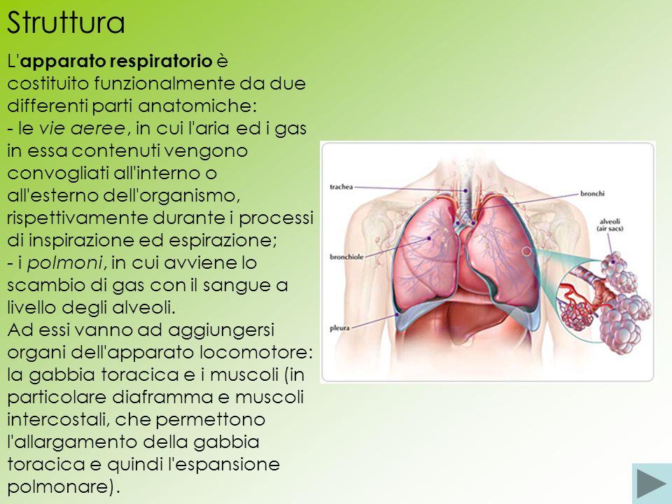 Struttura L apparato respiratorio è costituito funzionalmente da due differenti parti anatomiche: