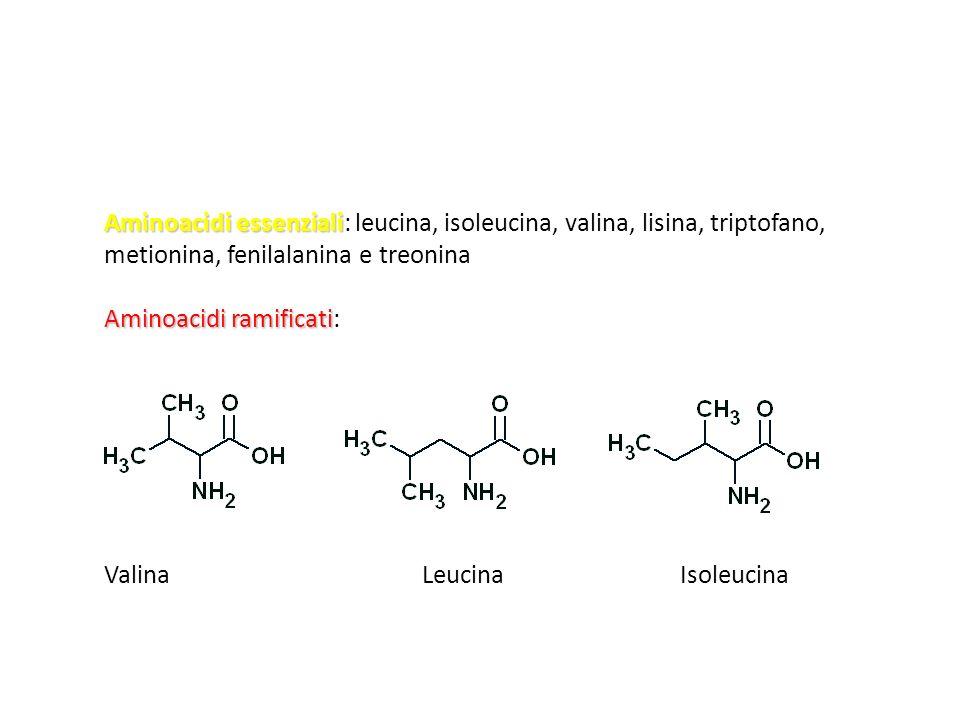 Aminoacidi essenziali: leucina, isoleucina, valina, lisina, triptofano, metionina, fenilalanina e treonina