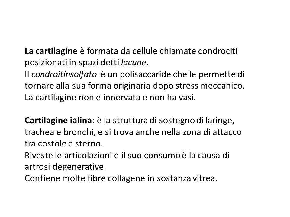 La cartilagine non è innervata e non ha vasi.