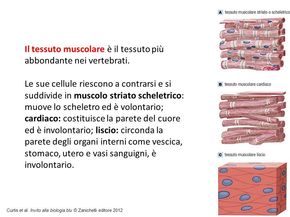 Il tessuto muscolare è il tessuto più abbondante nei vertebrati.