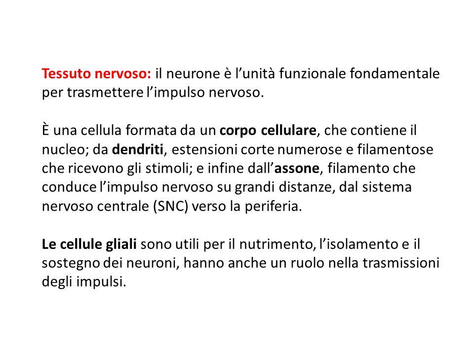 09/09/12 27/11/11. Tessuto nervoso: il neurone è l'unità funzionale fondamentale per trasmettere l'impulso nervoso.