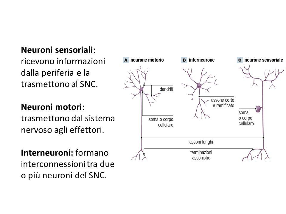 Neuroni motori: trasmettono dal sistema nervoso agli effettori.
