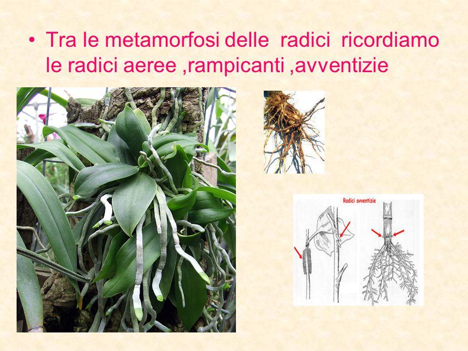 Tra le metamorfosi delle radici ricordiamo le radici aeree ,rampicanti ,avventizie
