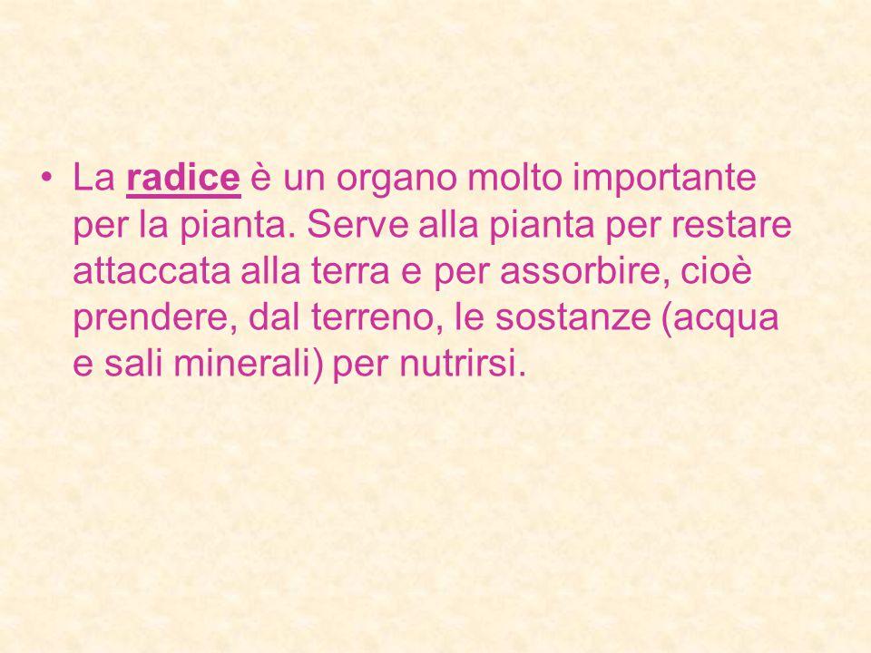 La radice è un organo molto importante per la pianta