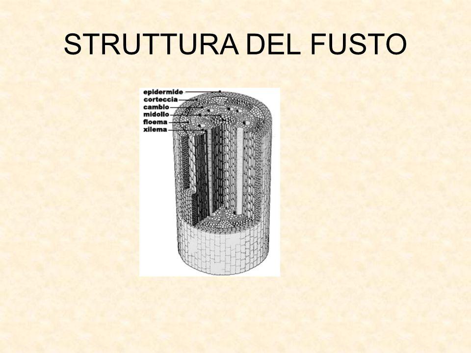 STRUTTURA DEL FUSTO