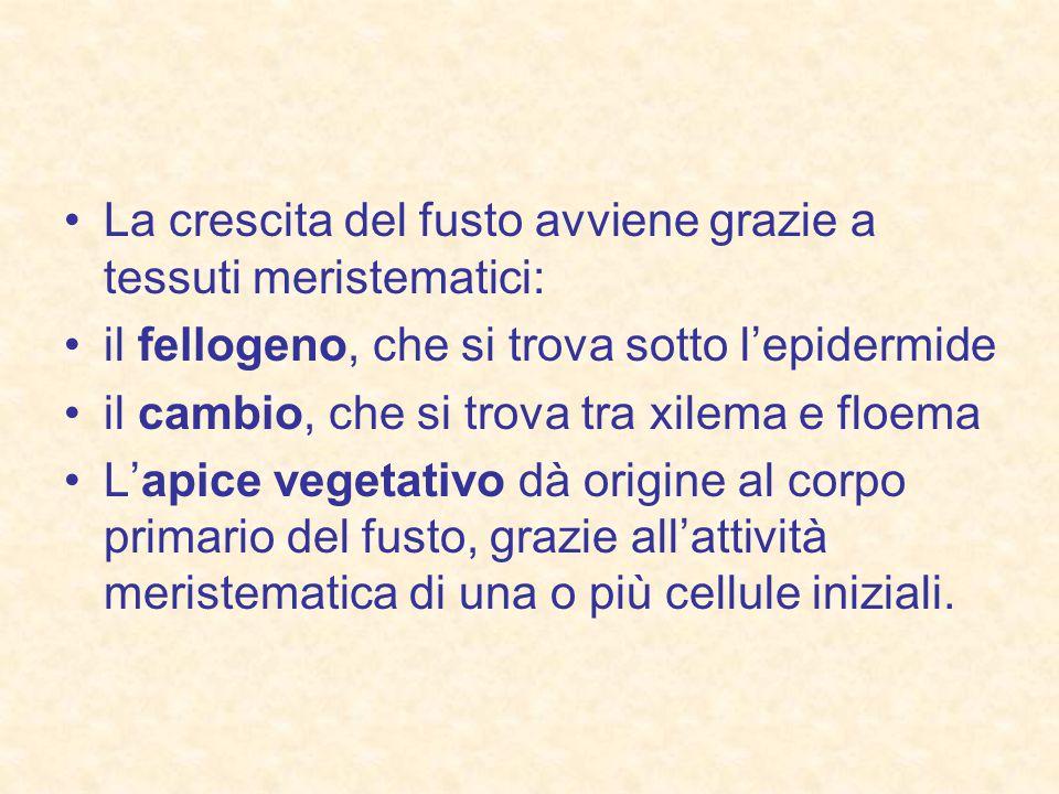 La crescita del fusto avviene grazie a tessuti meristematici: