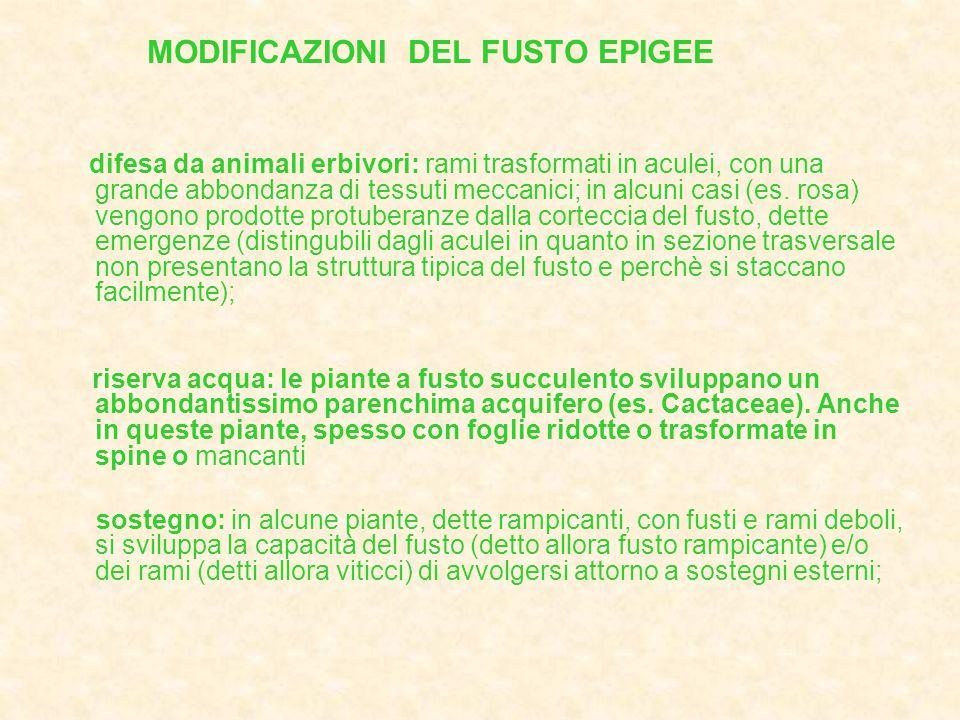 MODIFICAZIONI DEL FUSTO EPIGEE