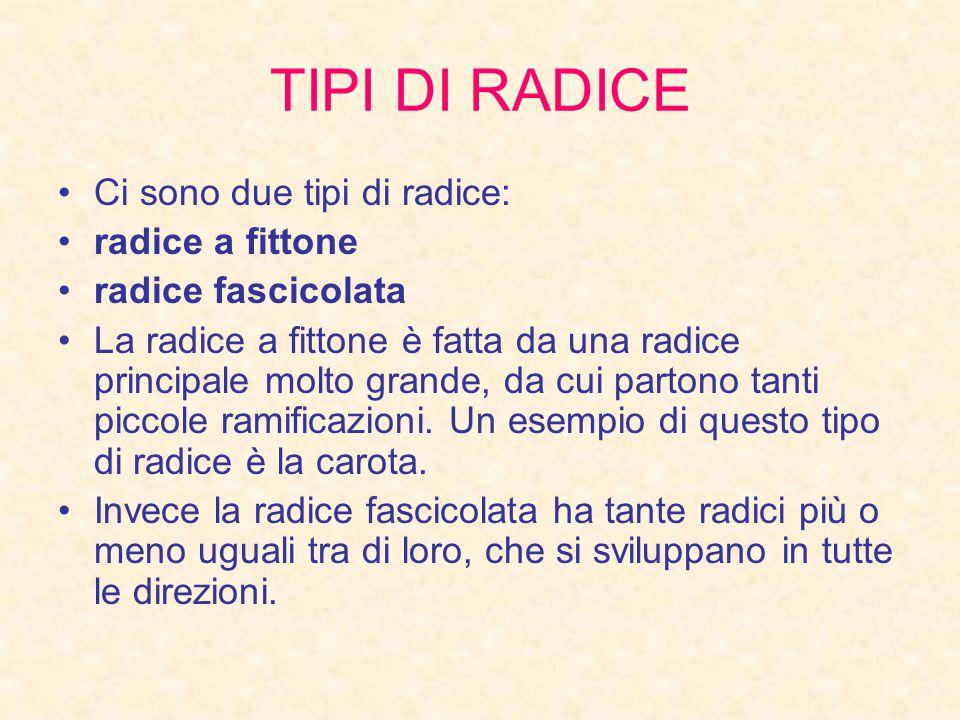 TIPI DI RADICE Ci sono due tipi di radice: radice a fittone
