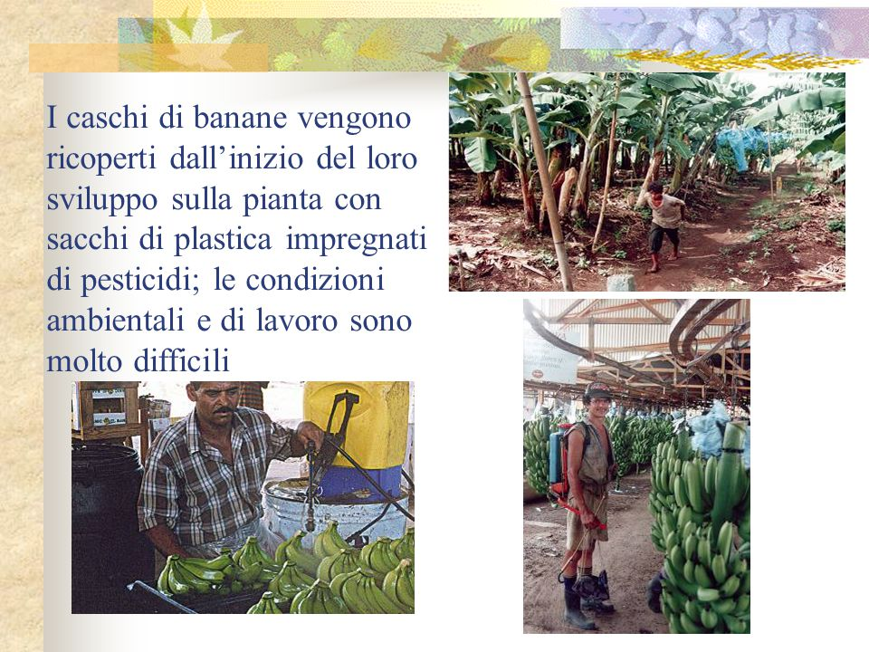 I caschi di banane vengono ricoperti dall'inizio del loro sviluppo sulla pianta con sacchi di plastica impregnati di pesticidi; le condizioni ambientali e di lavoro sono molto difficili