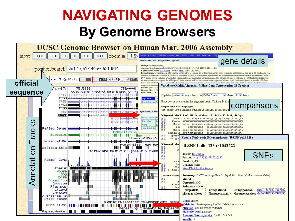 NAVIGATING GENOMES By Genome Browsers gene details comparisons
