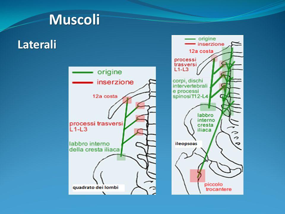 Muscoli Laterali