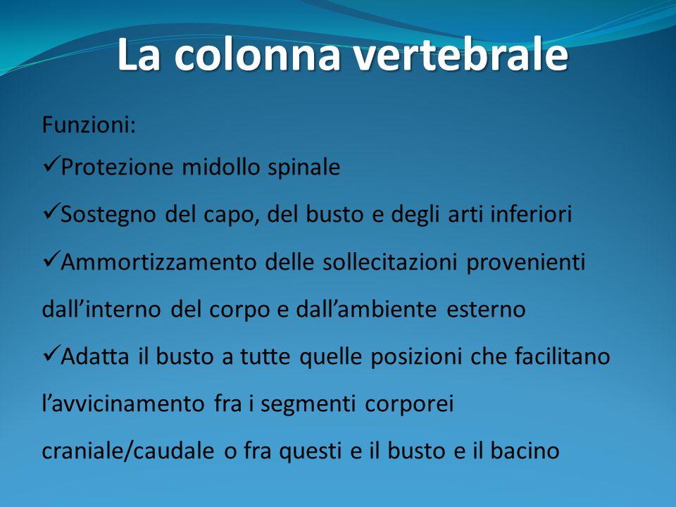La colonna vertebrale Funzioni: Protezione midollo spinale