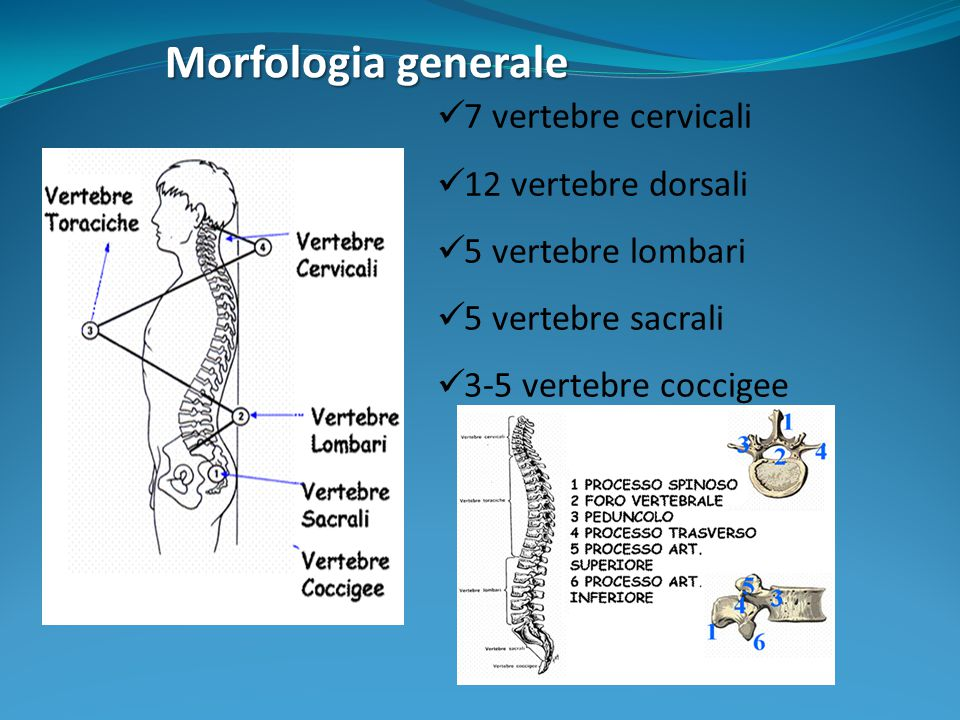 Morfologia generale 7 vertebre cervicali 12 vertebre dorsali