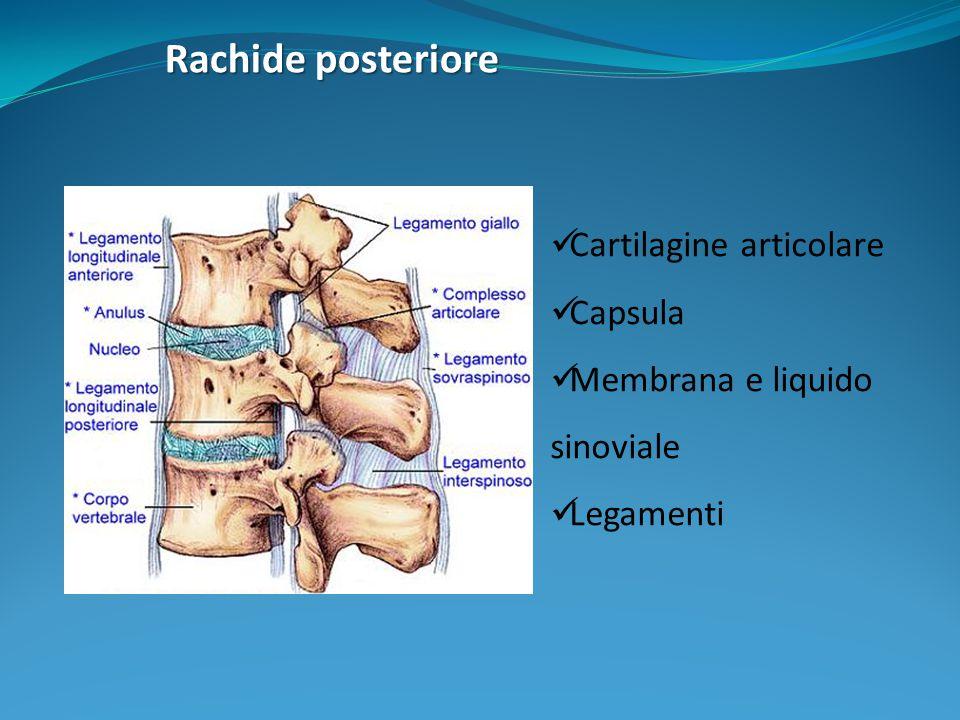 Rachide posteriore Cartilagine articolare Capsula