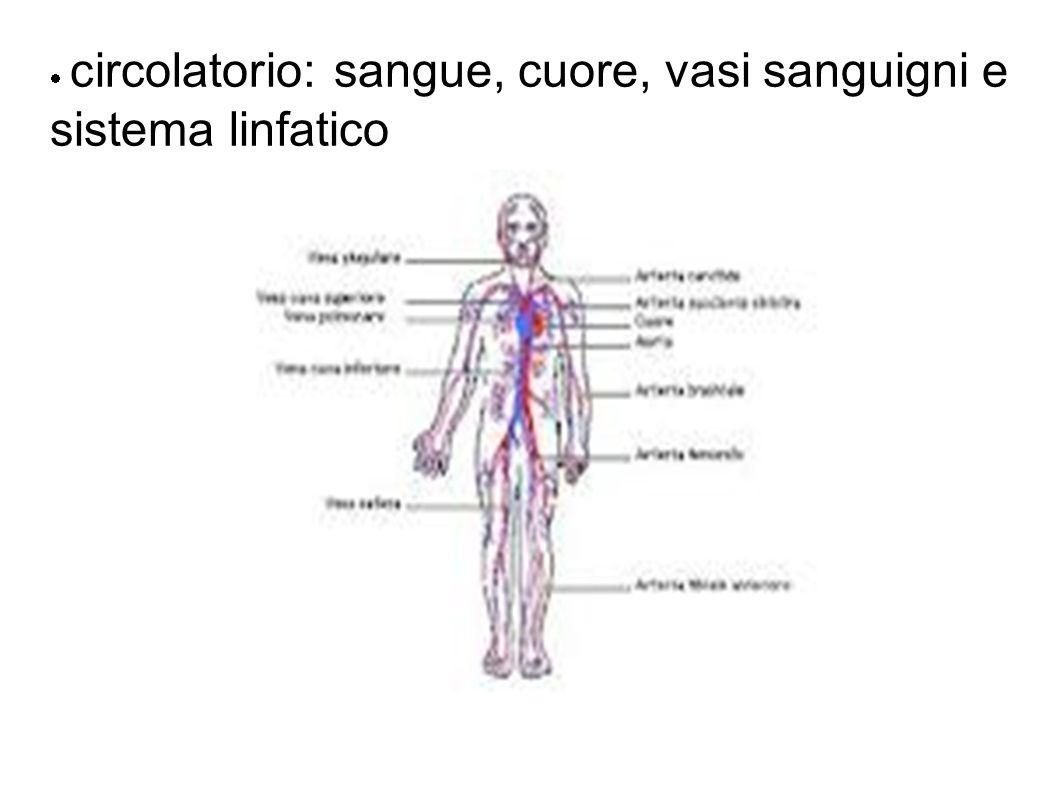 circolatorio: sangue, cuore, vasi sanguigni e sistema linfatico