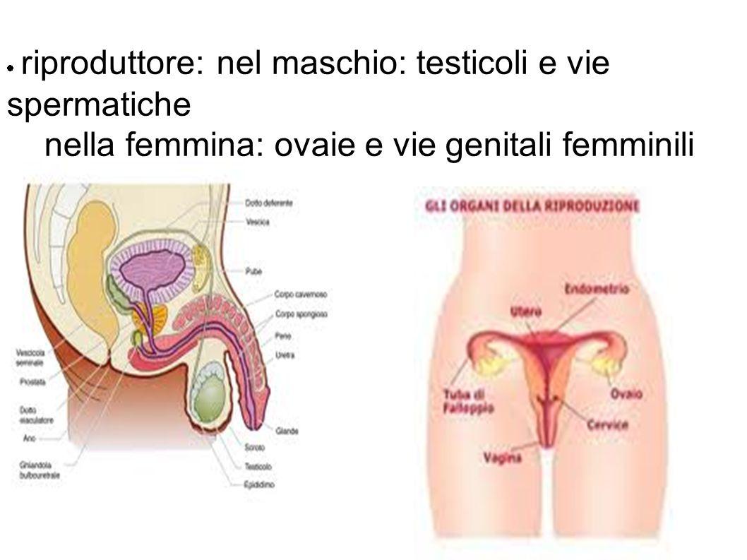 nella femmina: ovaie e vie genitali femminili