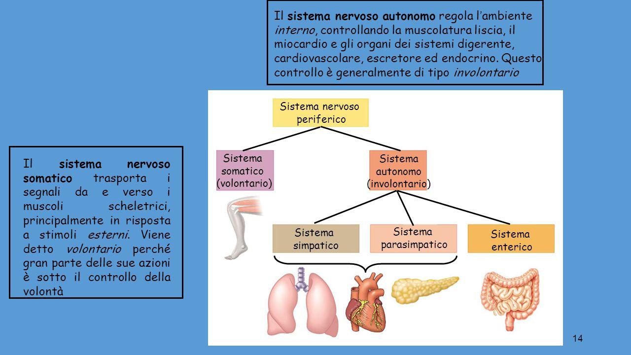 Il sistema nervoso autonomo regola l'ambiente interno, controllando la muscolatura liscia, il miocardio e gli organi dei sistemi digerente, cardiovascolare, escretore ed endocrino. Questo controllo è generalmente di tipo involontario