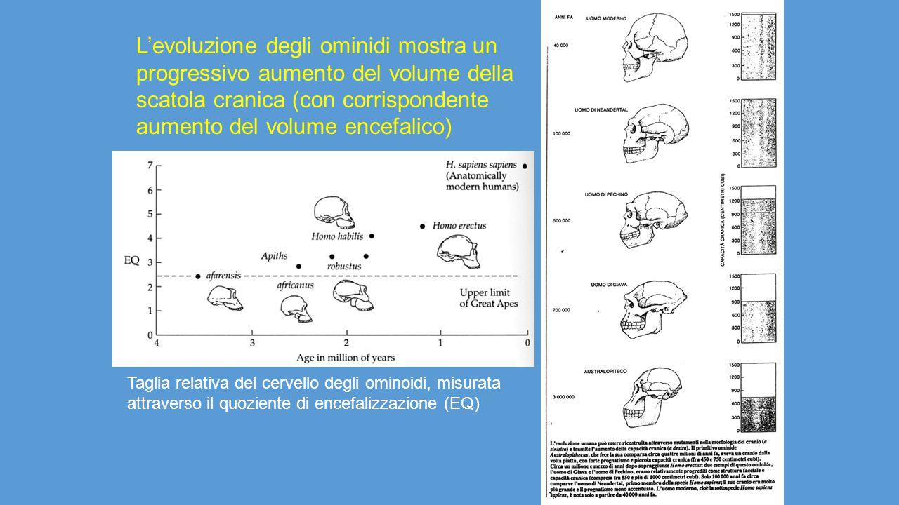 L'evoluzione degli ominidi mostra un progressivo aumento del volume della scatola cranica (con corrispondente aumento del volume encefalico)