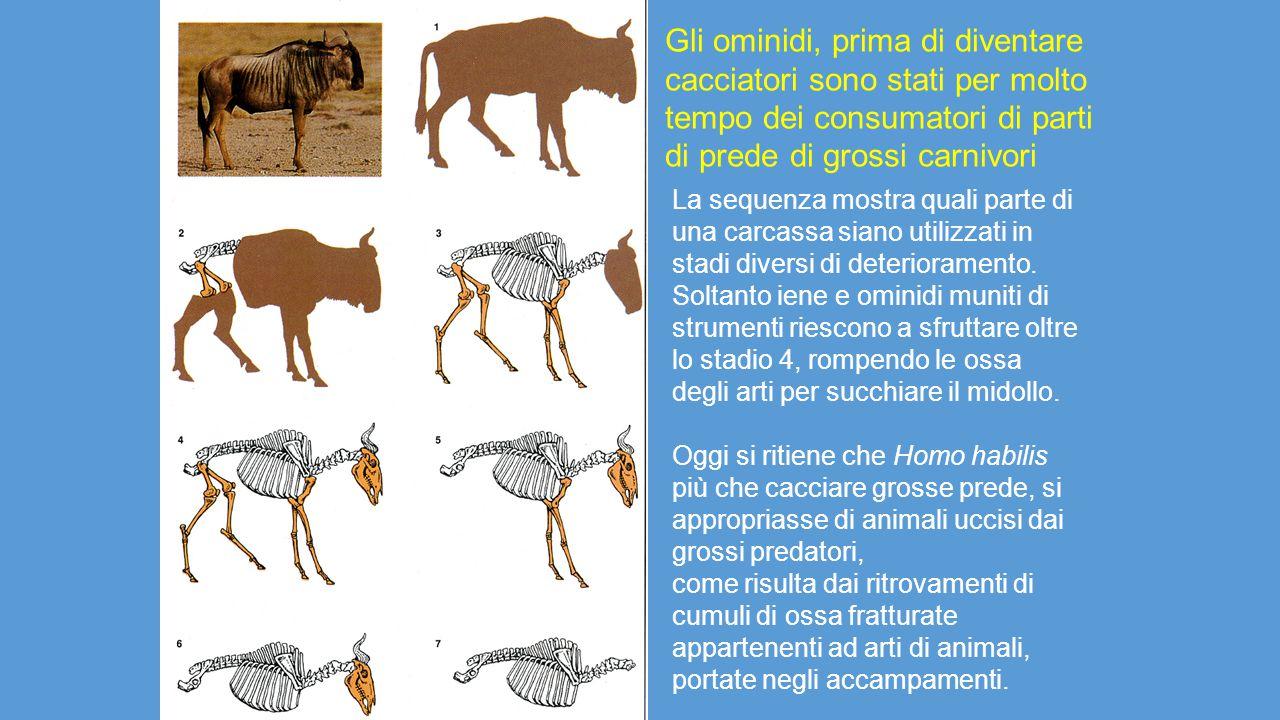 Gli ominidi, prima di diventare cacciatori sono stati per molto tempo dei consumatori di parti di prede di grossi carnivori