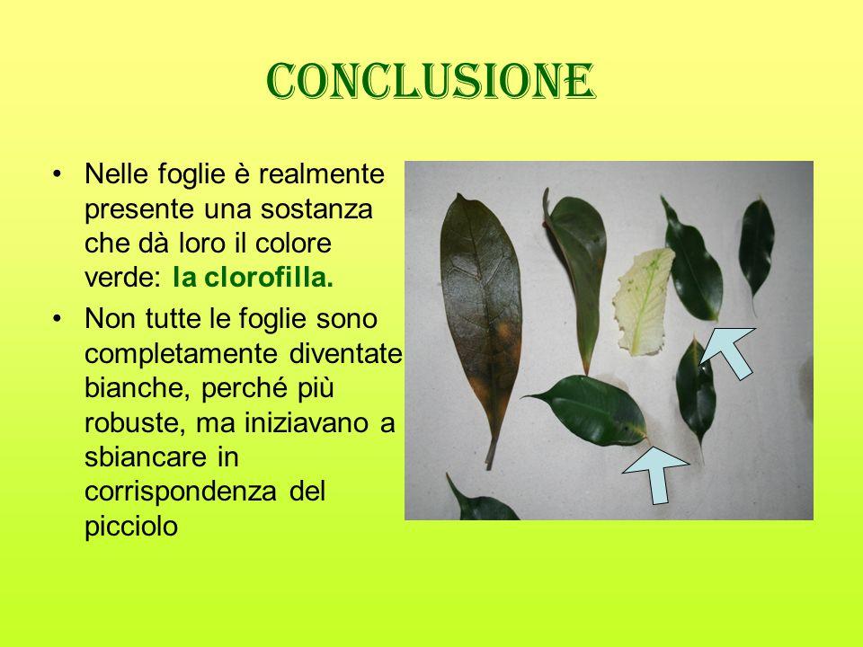 Conclusione Nelle foglie è realmente presente una sostanza che dà loro il colore verde: la clorofilla.