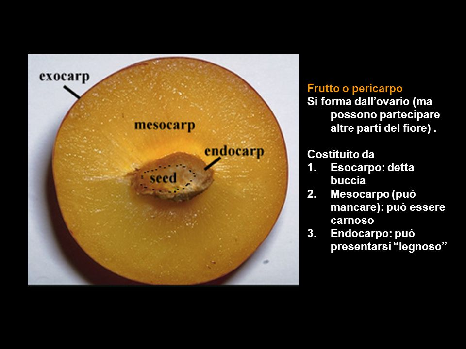 Frutto o pericarpo Si forma dall'ovario (ma possono partecipare altre parti del fiore) . Costituito da.