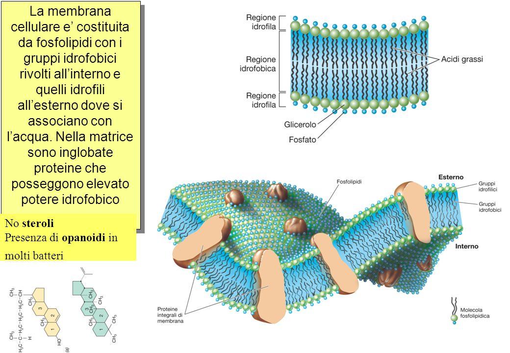 La membrana cellulare e' costituita da fosfolipidi con i gruppi idrofobici rivolti all'interno e quelli idrofili all'esterno dove si associano con l'acqua. Nella matrice sono inglobate proteine che posseggono elevato potere idrofobico