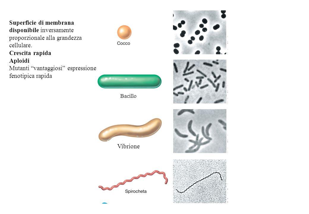 Superficie di membrana disponibile inversamente proporzionale alla grandezza cellulare. Crescita rapida Aploidi Mutanti vantaggiosi espressione fenotipica rapida