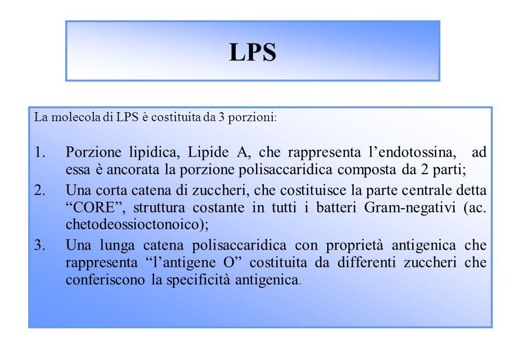 LPS La molecola di LPS è costituita da 3 porzioni: