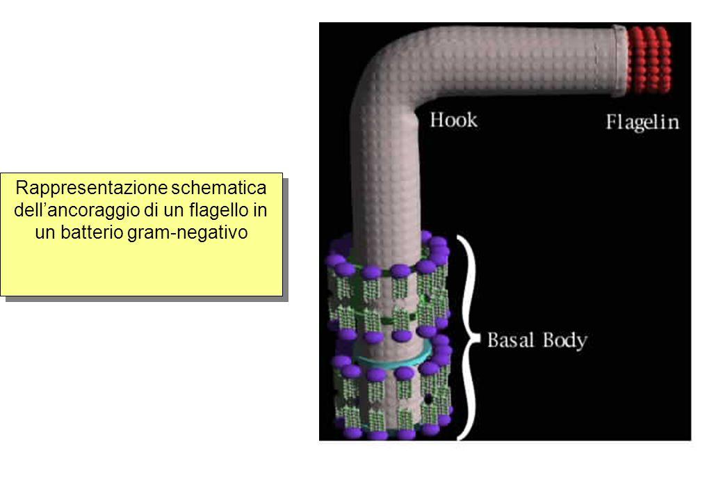 Rappresentazione schematica dell'ancoraggio di un flagello in un batterio gram-negativo