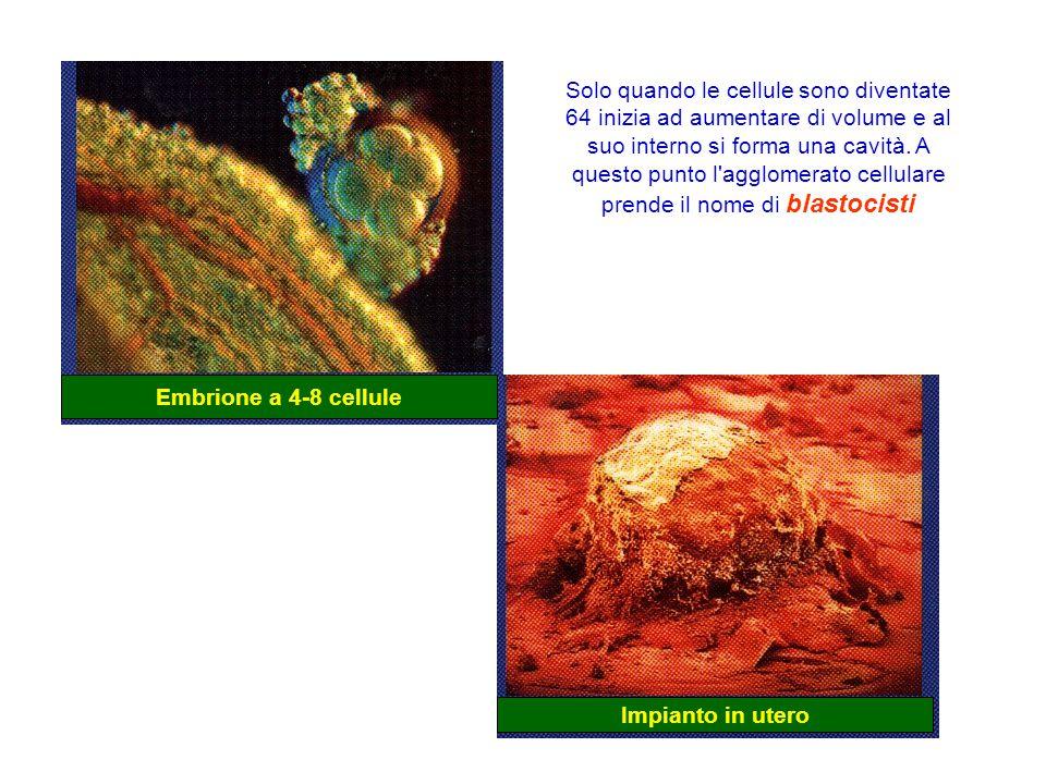 Solo quando le cellule sono diventate 64 inizia ad aumentare di volume e al suo interno si forma una cavità. A questo punto l agglomerato cellulare prende il nome di blastocisti